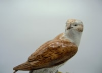 Faucon Ou épervier En Porcelaine Allemande Fin XIX- Début XXeme